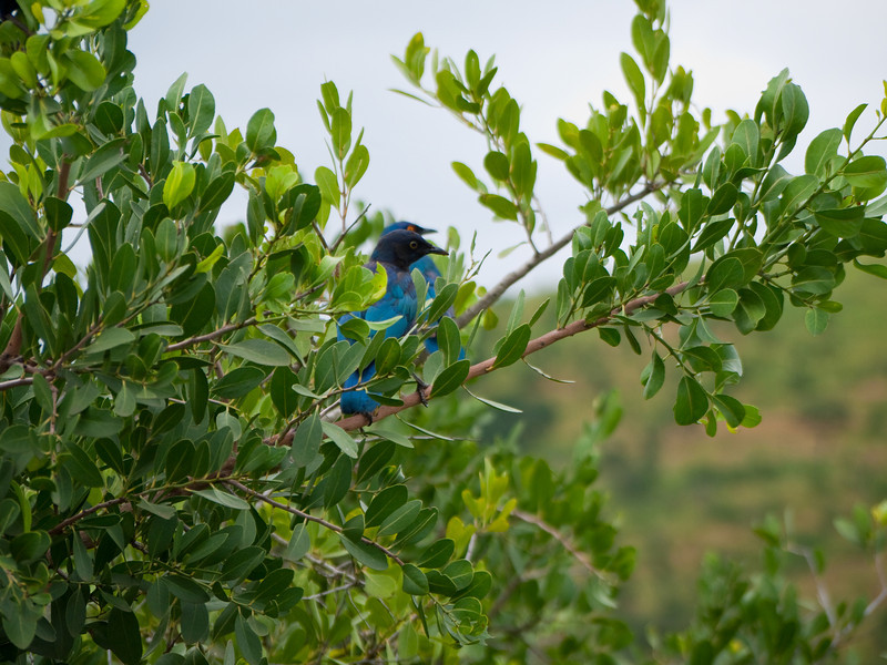 Blue Headed Bee Eaters  in the Hluhluwe Umfolozi Game Reserve - Zululand
