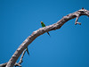 Green Body Bee Eater at the Chobi River