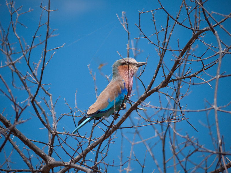 Lilac Cheeked Bee Eater in Chobe National Park