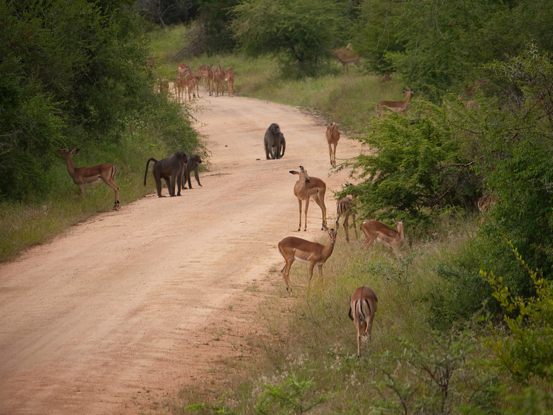 Baboon and Impala in Kruger National Park