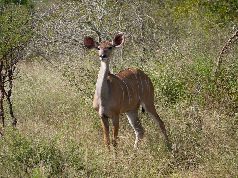 Female Kudu in Kruger National Park