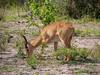 Impala in Chobe National Park
