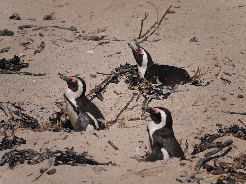 Spheniscus Demersus - The African Penguin in the Boulder Colony at Simon's Town