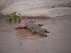 African Crocodile in Kruger National Park