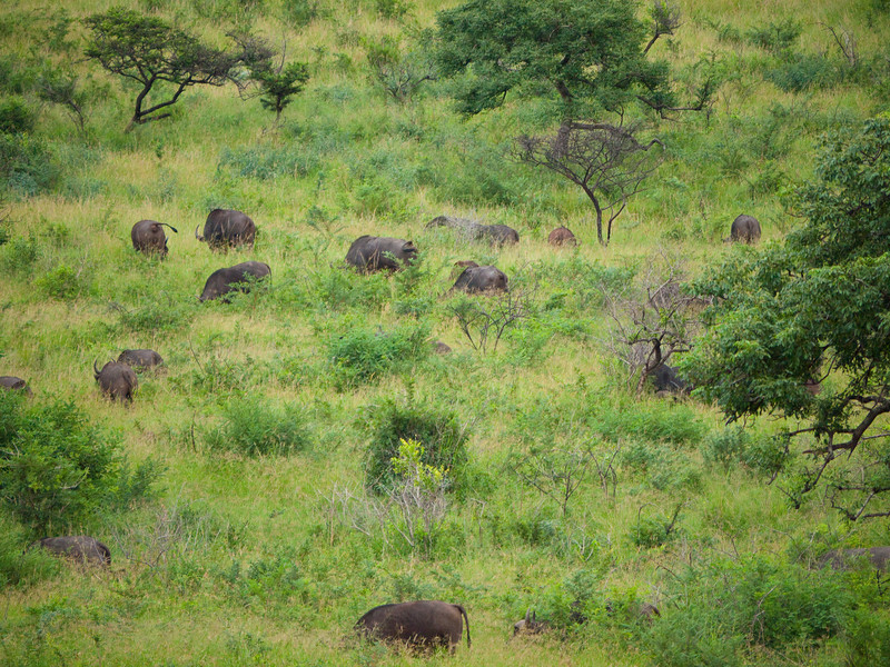 A Herd of Cape Buffalo in the Hluhluwe Umfolozi Game Reserve - Zululand