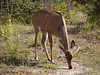 Kudu in Chobe National Park