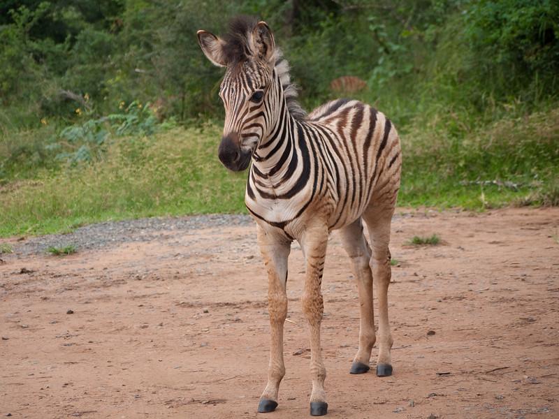 Baby Zebra in Hluhluwe Umfolozi Game Preserve