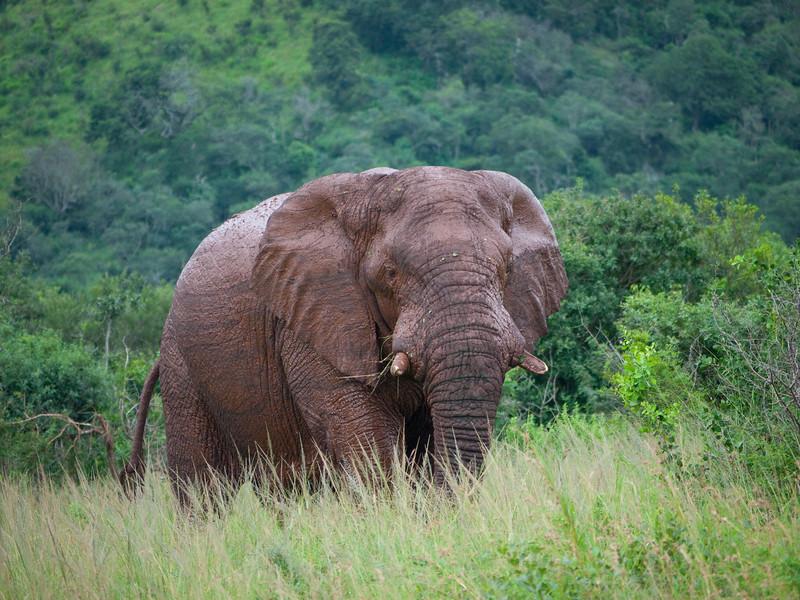 Elephants in the Hluhluwe Umfolozi Game Reserve - Zululand