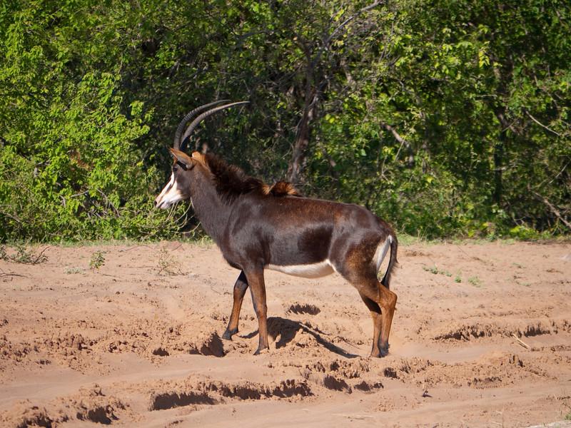 Sable Antelope in Chobe National Park