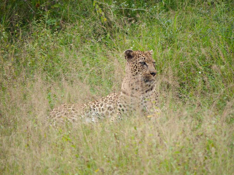 Leopard in Kruger National Park