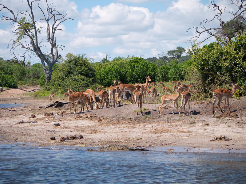 Impala on the Chobe River shore.