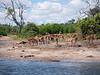 Impala on the Chobe River shore.