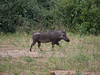 Warthog in Chobe National Park