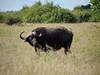 Cape Buffalo in Chobe National Park