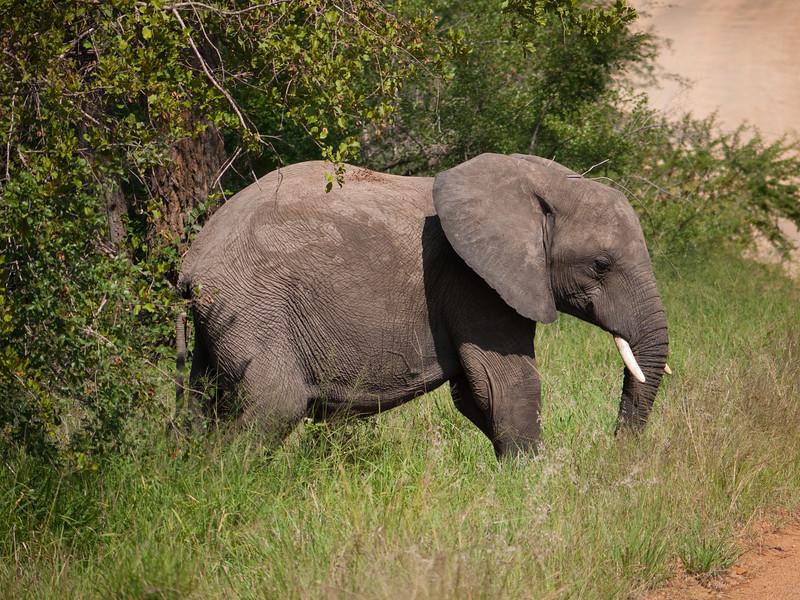Male Elephant in Kruger National Park