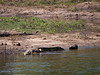 African Crocodile in the Chobi River
