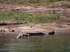 African Crocodile in the Chobi River