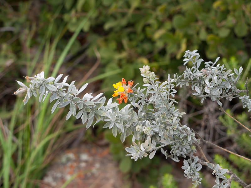 Flower at the Blyde River Canyon Overlook Point -  Mpumalanga