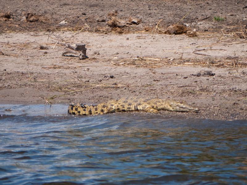 African Crocodile in Chobe National Park