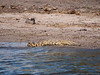 African Crocodile in Chobe National Park