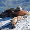 Sea Lions sunning in the Beagle Channel outside Ushuaia, Argentina.
