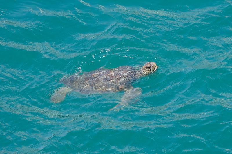 Sea Turtle swimming in the Port of Manta, Ecuador.