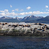 Family of Sea Lions sunning in the Beagle Channel outside Ushuaia, Argentina.