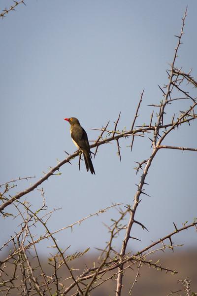 Red-billed Oxpecker, Pilanesberg, South Africa, September 2015