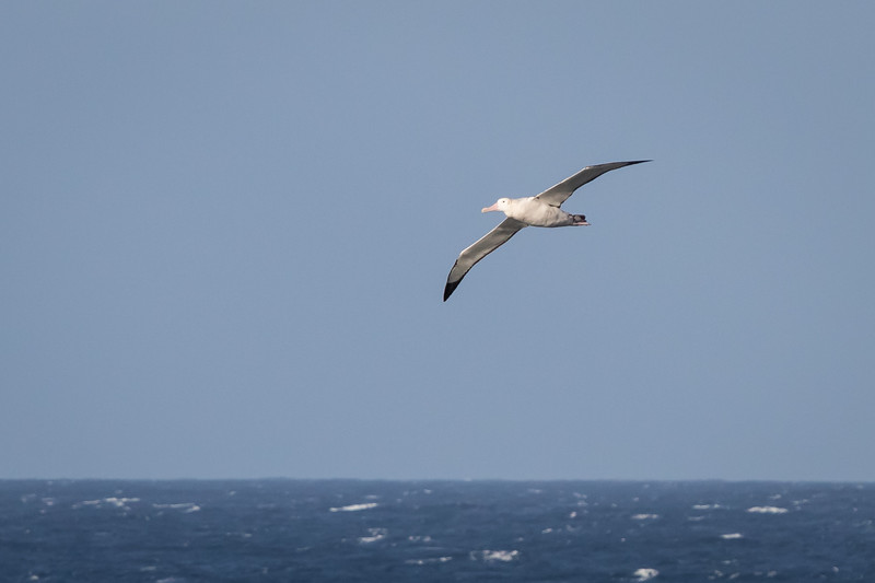 Wandering Albatross, Atlantic Ocean off Cape Town, South Africa, April 2017