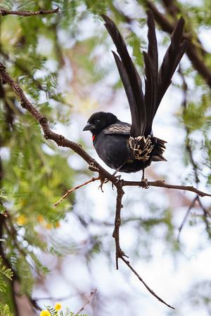 Red Collared Widowbird, Suikerbosrand, South Africa, December 2015