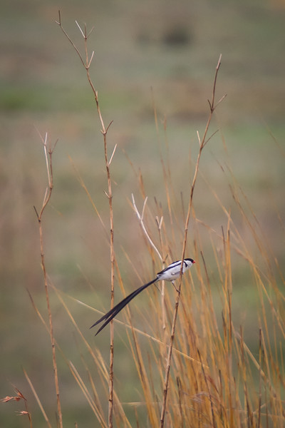 Pin-Tailed Whydah, Suikerbosrand, South Africa, December 2015