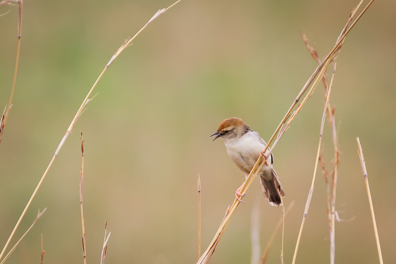 ?? Cisticola, Suikerbosrand, South Africa, December 2015