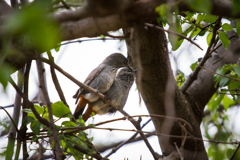 Chestnut Vented Tit Babbler, Suikerbosrand, South Africa, December 2015