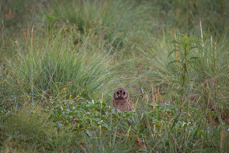 Marsh Owl, Suikerbosrand, South Africa, December 2015