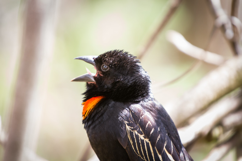 Red Collared Widowbird, Suikerbosrand, South Africa, December 2015