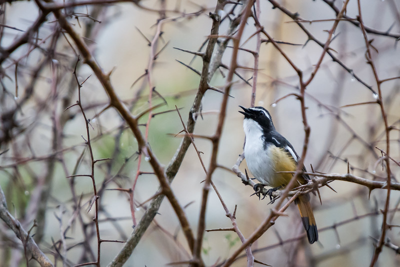 White-throated Robin-chat, Kruger National Park, South Africa, October 2016