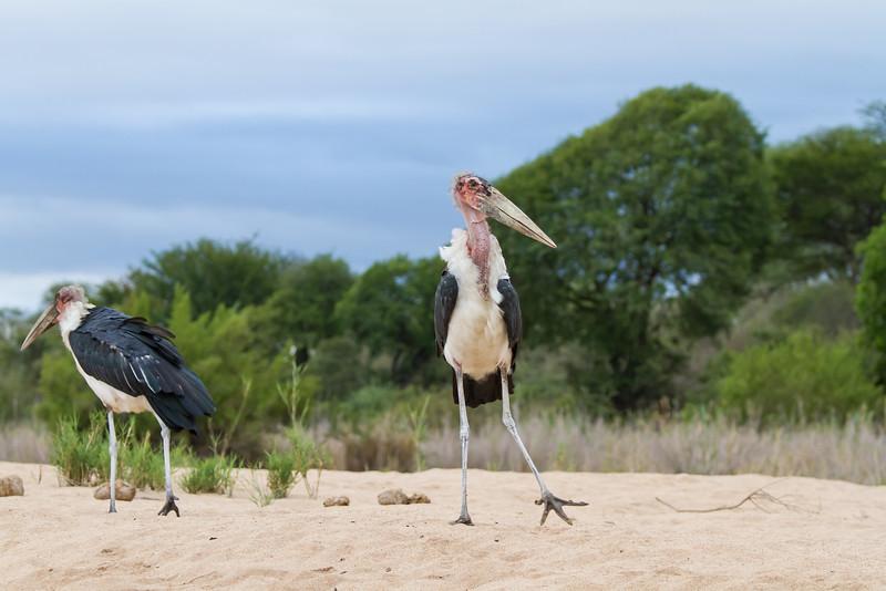 Maribou Stork, Kruger National Park, South Africa, March 2016