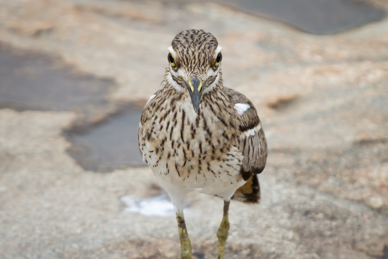 Water Thick-knee, Kruger National Park, South Africa, March 2016