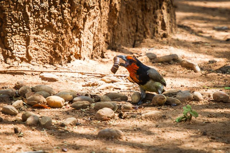 Black-collared Barbet, Kruger National Park, South Africa, October 2015