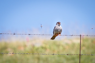 Amur Falcon, Dullstroom, December 2015