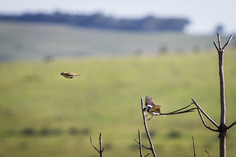 Pin Tailed Whydah, Dullstroom, December 2015