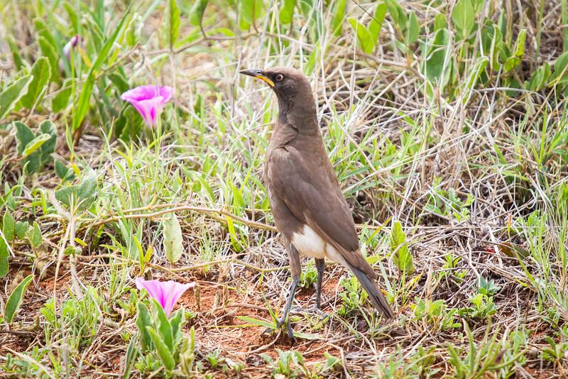 Pied Starling, Sondela, South Africa, November 2015
