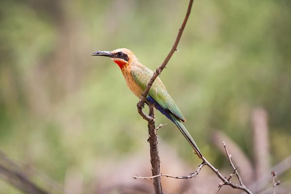 White-fronted Bee-eater, Sondela, South Africa, November 2015