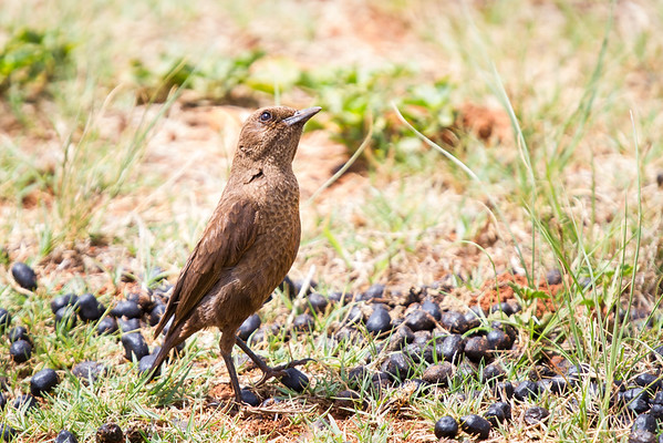 Ant-eating Chat, Sondela, South Africa, November 2015
