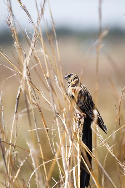 Long-tailed Widowbird (juvenile), Retvlei, South Africa, October 2016