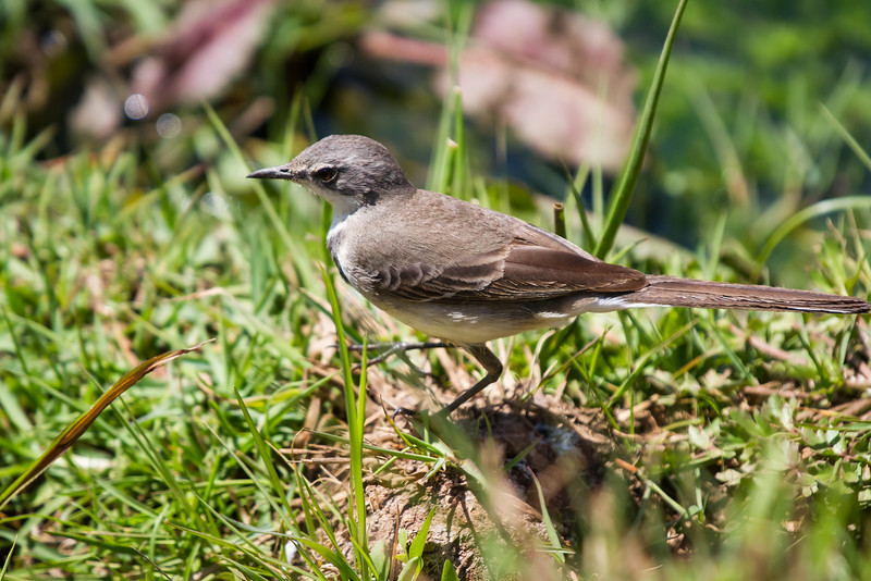 Cape Wagtail, Retvlei, South Africa, October 2016