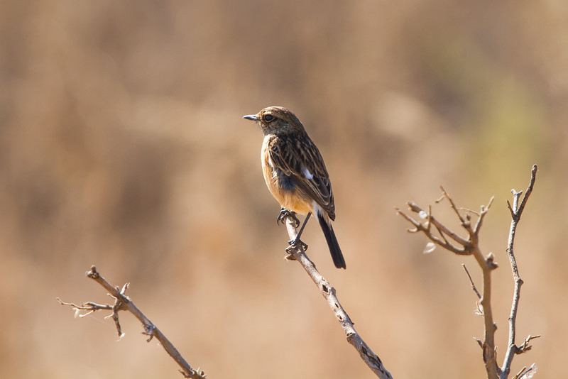 African Stonechat (female), Reitvlei, South Africa, July 2016