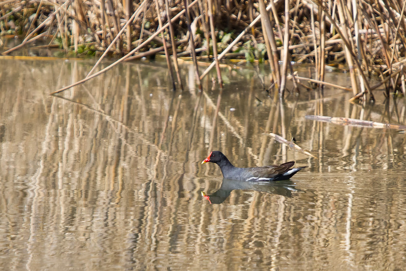Common Moorhen, Rietvlei, South Africa, July 2016