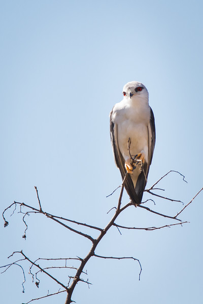 Black-shouldered Kite, Rietvlei, South Africa, July 2016