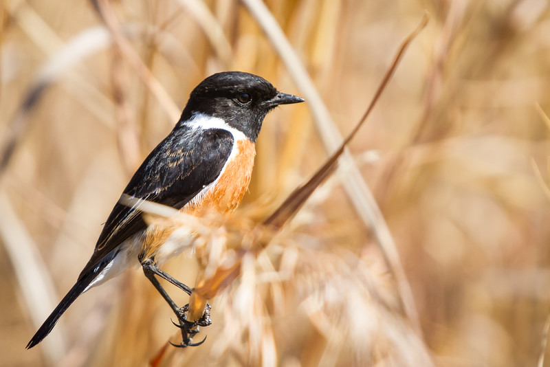 African Stonechat, Rietvlei, South Africa, July 2016